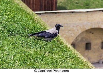 Hooded crow on a grassy hillside on a blurred background...