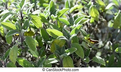 Sage bush with mortar, medical plant and spice