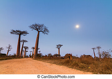 Boabab alley moon light - Beautiful Baobab trees and the...