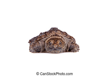 Common Snapping Turtle hatchling on white - Common Snapping...