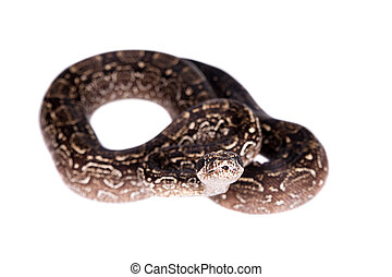 Leopard Argentine Boa on white background. - Leopard...