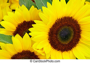 Sunflower - A sunflower is displayed