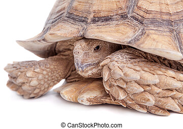 African Spurred Tortoise on white - African Spurred...