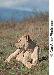 Lioness Lying and Watching - A lioness lying down in the...