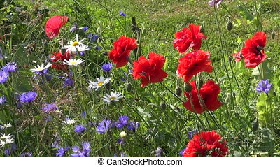 beautiful poppy and cornflowers - beautiful poppy and blue...