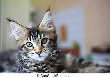 Cute Black tabby color Maine coon kitten - Black tabby color...