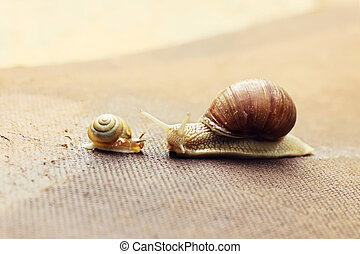 Garden snail (Helix aspersa) with its baby - Garden snail...