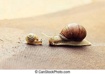 Garden snail (Helix aspersa) with its baby - Garden snail...