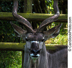 Greater Kudu - Looking at you.