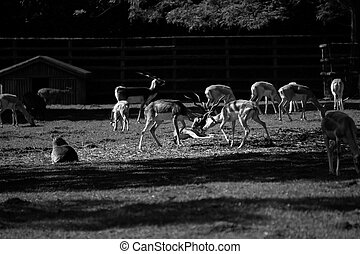 A gazelle fight - Gazelles fighting.