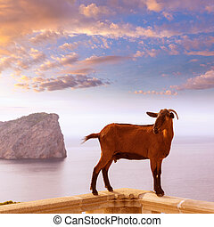 Majorca goat in Formentor Cape Lighthouse at Mallorca