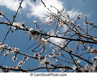 Apricot blossom - Apricot flowers and delicate petals were...