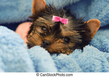 Yorkshire Terrier puppy sleeping - A female Yorkshire...