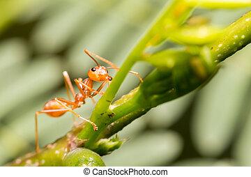 primer plano, hormiga, en, verde, hoja,