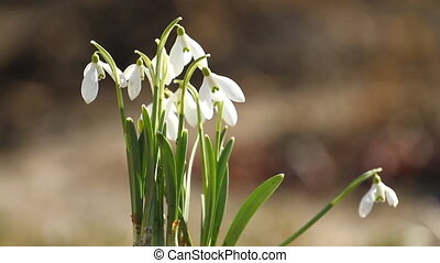 White snowdrop flowers in springtime