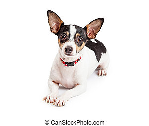 Attentive And Well Trained Chihuahua Dog Laying - An...