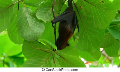 Flying fox - Lyles flying fox Pteropus lylei