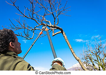 tree pruning - Pruning peach-tree brunch with a pruning...