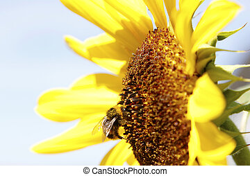 Bee - Bumble bee on a sunflower
