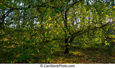 Autumn Forest In The Sunlight Tracking Shot - Tracking shot...