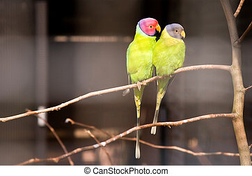 Pair of plum-headed parakeets. Park Avifauna, the...