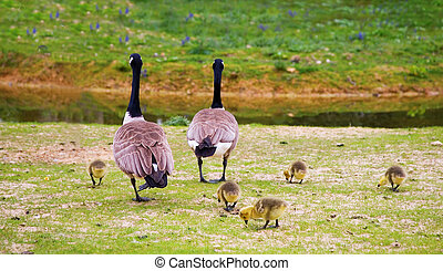 Family of Canada geese Branta canadensis