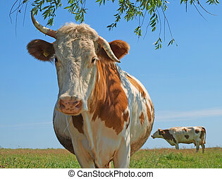 Abrupt cow - During fight to a cow have curtailed one horn.