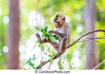 Monkey (Crab-eating macaque) eating leaves on tree in...