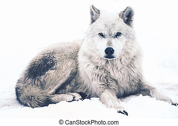 Laying Arctic Wolf Resting White Wolf Canadian Wildlife