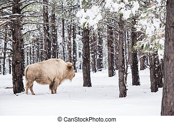 White Buffalo in Forest. Northern Arizona States. USA.