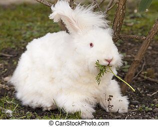 Fluffy angora rabbit eating herbs - Cute fluffy angora bunny...