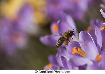 The bee - symbol of the spring - Closeup view of bee...