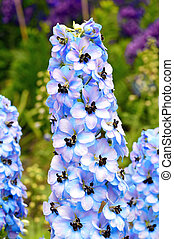 Delphinium plant which is also known as larkspur in full...
