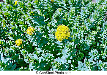 Rhodiola rosea blooming with green leaves - The texture of...