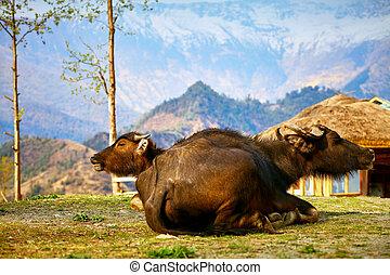 buffles, dans, Nepal, ,