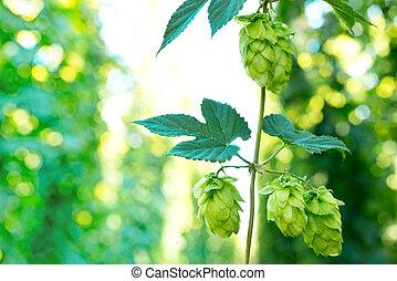 hop cones - detail of hop cones in the hop-garden