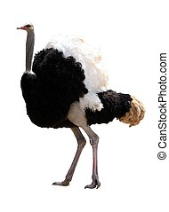 Male Ostrich Isolated - Handsome male ostrich with beautiful...