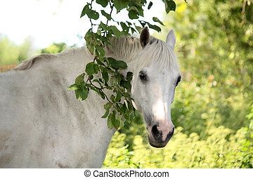 Portrait of white arabian horse in the garden - Portrait of...