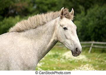 White andalusian young colt portrait