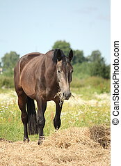 Young gray horse standing at pasture and eating hay on...