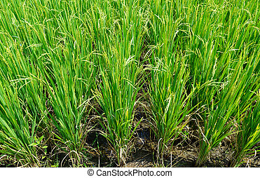 Rice field in agriculture