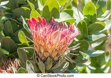 Protea eximia, the broad-leaf sugarbush or duchess protea...