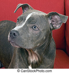 American Blue Pit Bull - portrait of a blue pit bull terrier