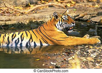 Bengal tiger Panthera tigris in hot summer day