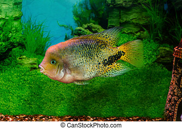 beautiful aquarium fish Cichlasoma synspilumn - mage of a...