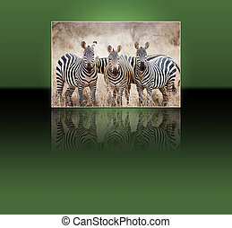 Zebras (Equus burchellii) - Zebras (Equus burchelli) and...