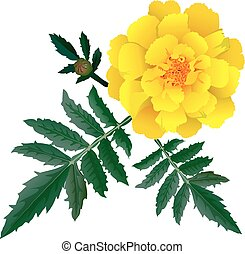 Realistic illustration of yellow marigold flower Tagetes...