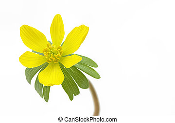 Single blooming winter aconite Eranthis hyemalis on white