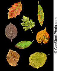 Leaves of 8 species in autumn - Leaves of 8 species of trees...
