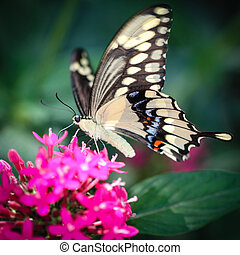 Giant Swallowtail Papilio Cresphontes - A colorful Giant...